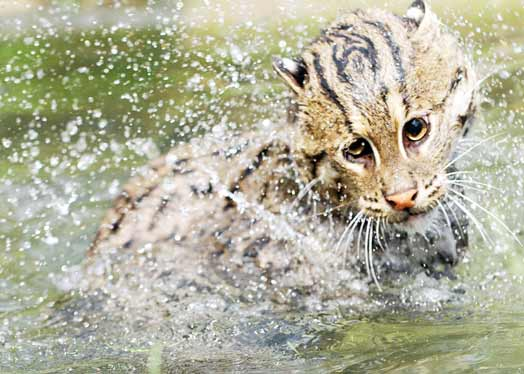 Asian Fishing Cat is  a rare  feline species evolved to feed exclusively on fish (© Karen Povey)