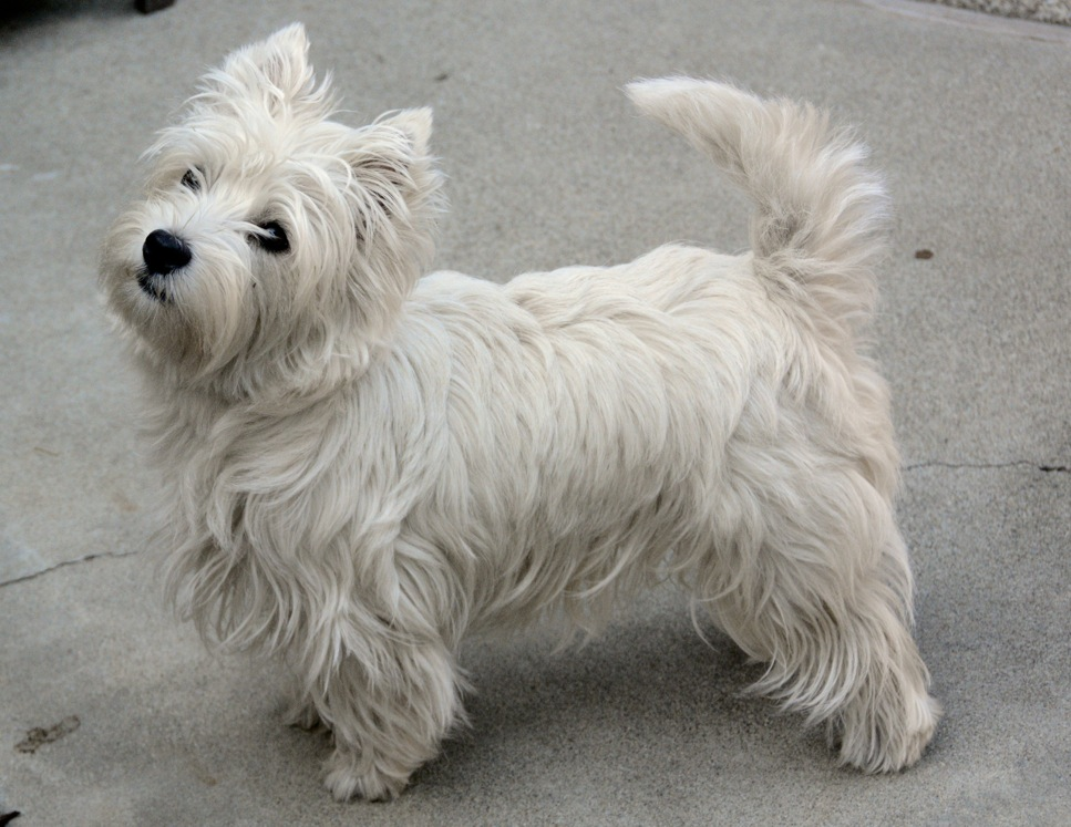 No, this isn't Spark, but he looked just as healthy as this Westie following homeopathic treatment