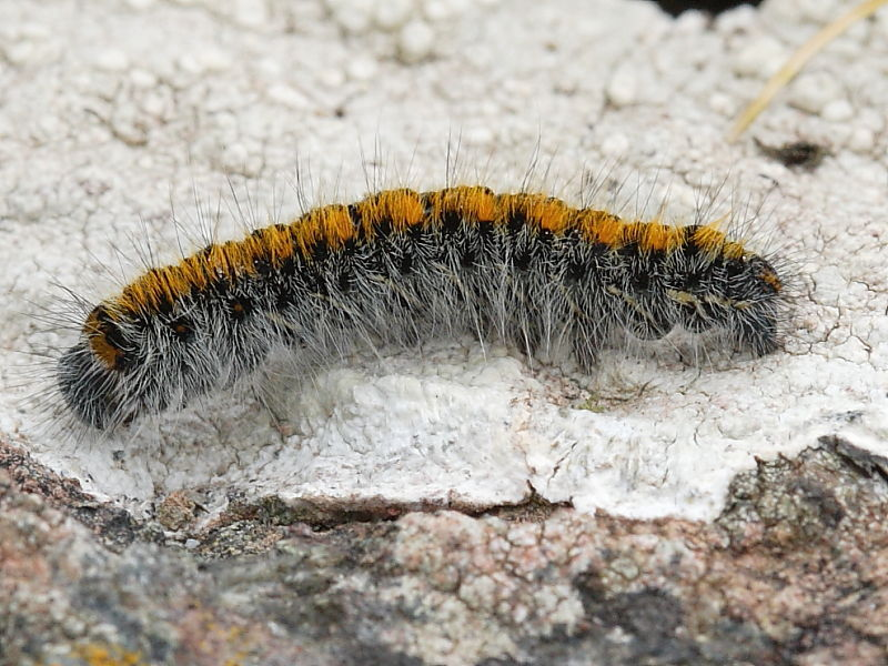 Grass Eggar Moth caterpillar feeds on grasses and is  usually found in fields and garrigue.